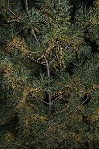 http://paulamccartney.com/files/gimgs/25_yellow-needles-in-pine.jpg